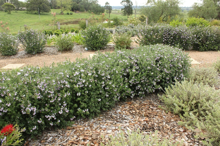 Masses of small mauve coloured flowers cover Aussie BoxTM in spring and summer