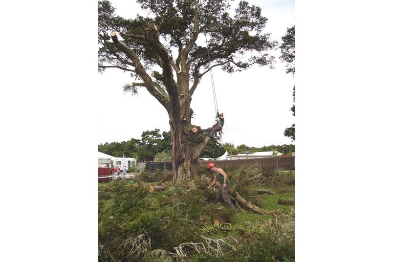 Removal of declining Totara, Botanic Gardens, Auckland