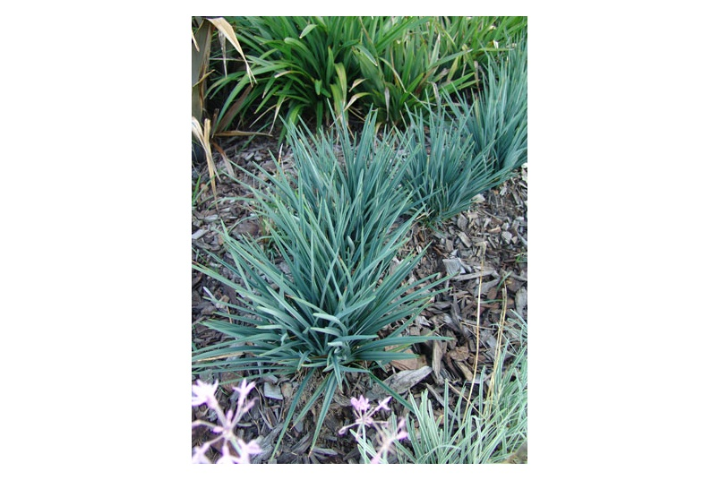 Baby Bliss is great as a border or low growing ground cover